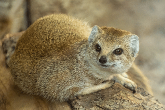 the mongoose - a major source of mongoose liver oil