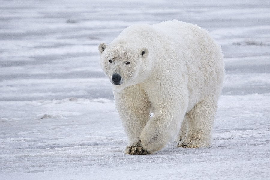 Polar bear from Brit Trek Lost and Loster
